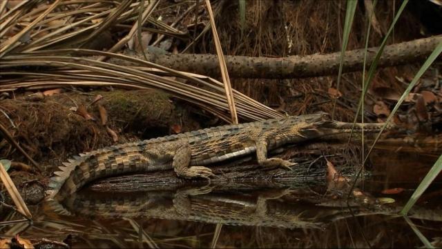Гавиаловый крокодил (Tomistoma schlegelii).