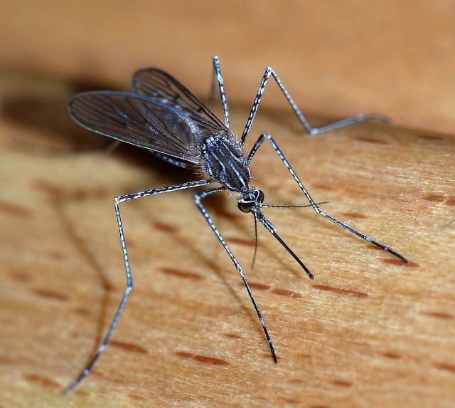 1144px-Mosquito_2007-2.jpg