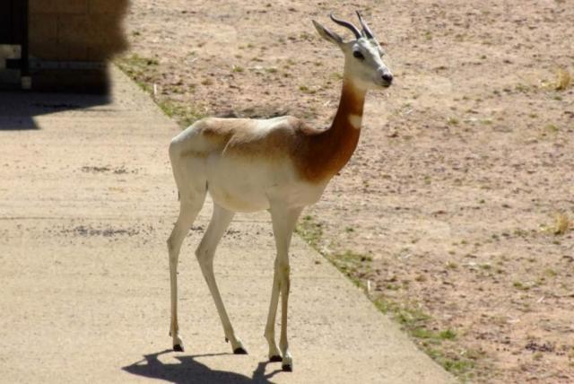 Сахарская газель (Gazella dama).
