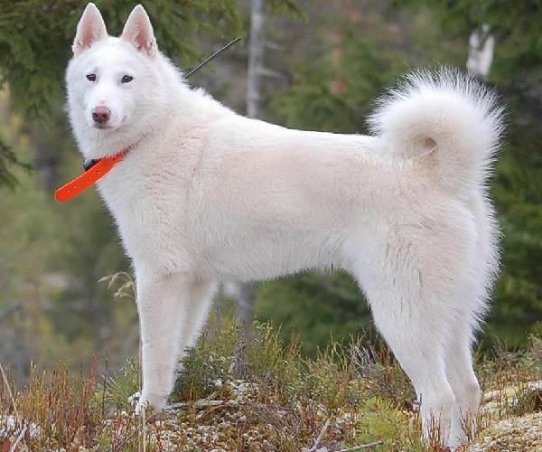 Восточно-сибирская-лайка-собака-Описание-особенности-уход-и-цена-восточно-сибирской-лайки-4