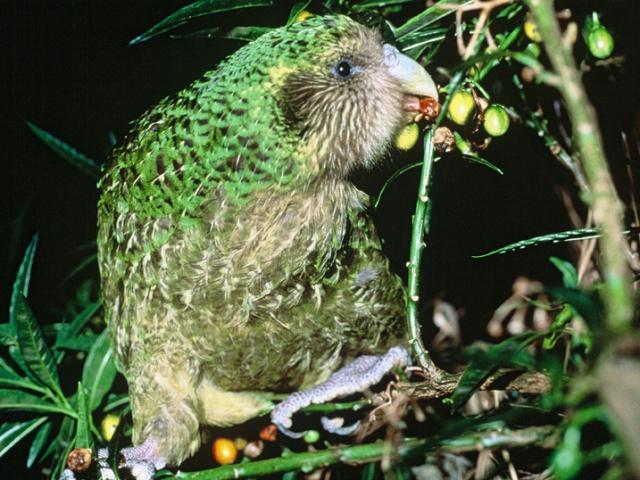 В мире существует около 360 видов попугаев, почти 100 из которых угрожает вымирание. Самым редким на данный момент является единственный нелетающий попугай какапо (или совиный попугай), чья численность составляет всего 154 особи