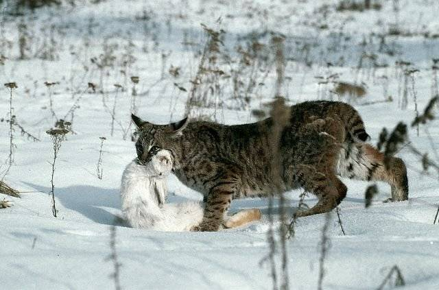 Обыкновенная рысь lynx с добычей фото