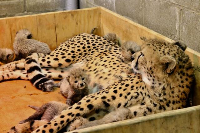 Это первый случай, когда родилось так много котят у гепарда, живущего в неволе.
