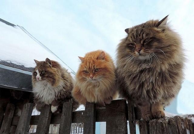 У истоков многочисленного кошачьего семейства стояла рыжая кошка по кличке Бабушка.