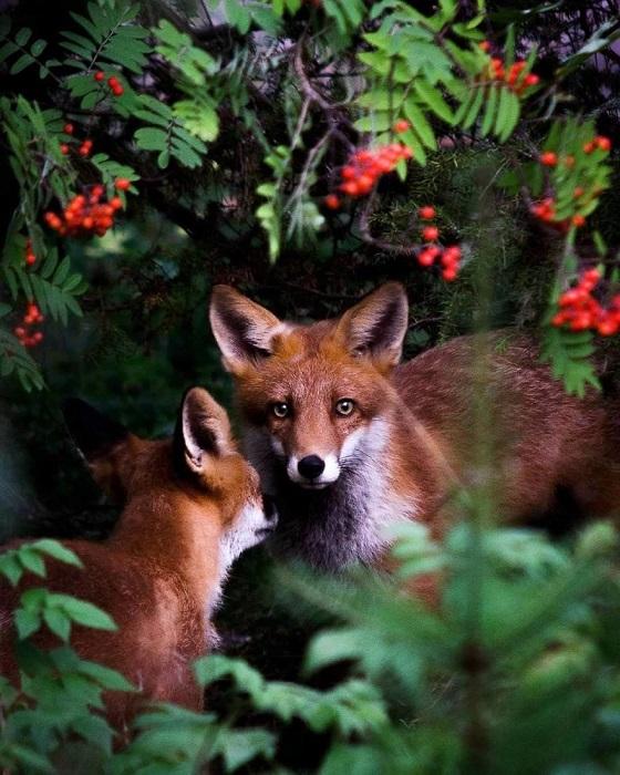 Финский фотограф создает захватывающие снимки животных в естественной среде обитания.