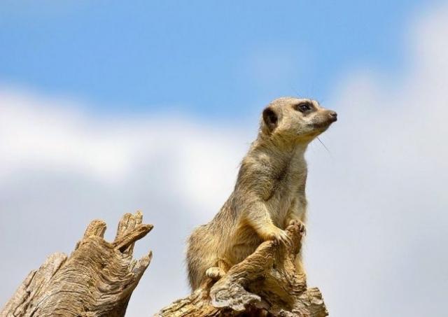 Сурикат. Поскольку приручить сурикатов несложно, некоторые африканские племена используют их как «охрану» от грызунов, ядовитых насекомых и рептилий