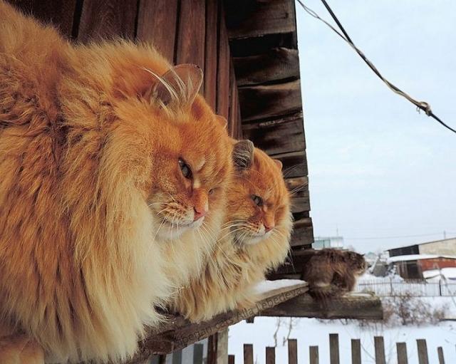 Большие, пушистые, рыжие и похожи друг на друга как близнецы.