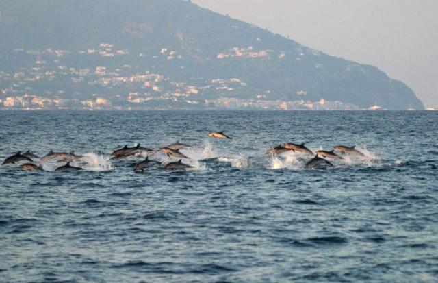 Будучи обитателями открытого моря, дельфины-белобочки лишь изредка встречаются в непосредственной близости от берега.