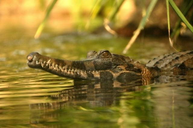В отличие от многих других крокодилов, гавиаловые сородичи не заботятся о потомстве.