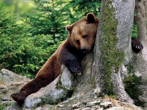 Зимняя спячка медведей. Что с ними происходит?