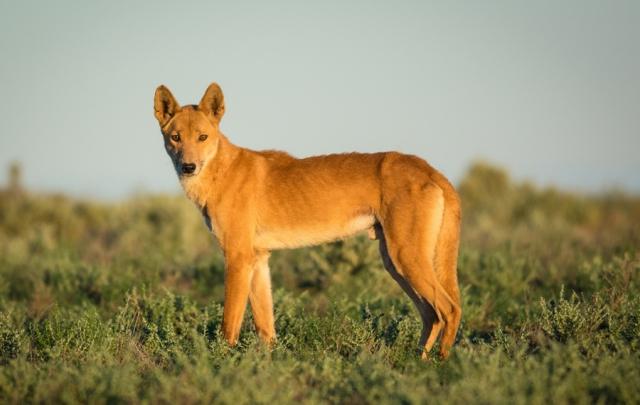 """Результат пошуку зображень за запитом """"Динго:собака,которая оказалась волком."""""""