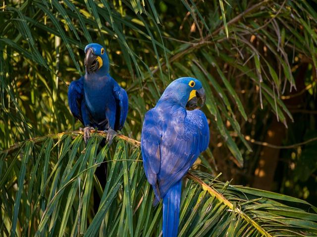 Попугаи бывают самых разнообразных размеров. Так, дятловый попугайчик Склэтера размером с палец человека весит всего 10 граммов, гиацинтовый ара (на фото) достигает в длину метра, а нелетающий какапо может весить до 4 килограммов