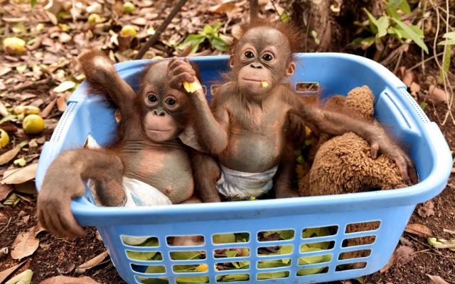 """Результат пошуку зображень за запитом """"орангутанги анимации"""""""