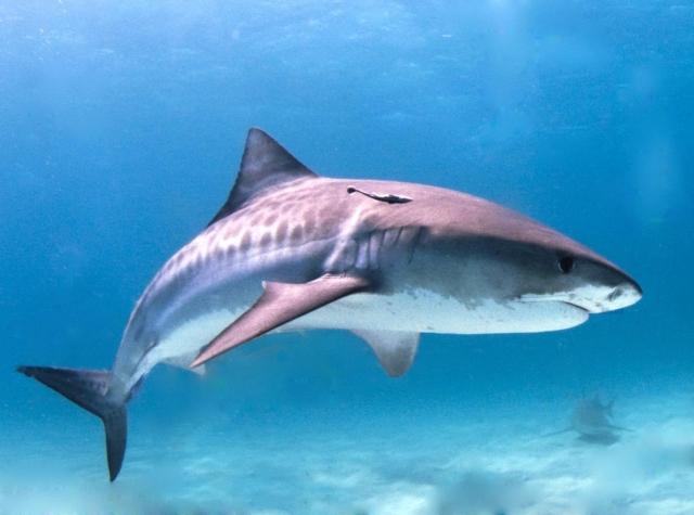 Глаза индийской серой акулы приплюснуты сверху, а не сбоку или снизу, как у большинства серых акул.