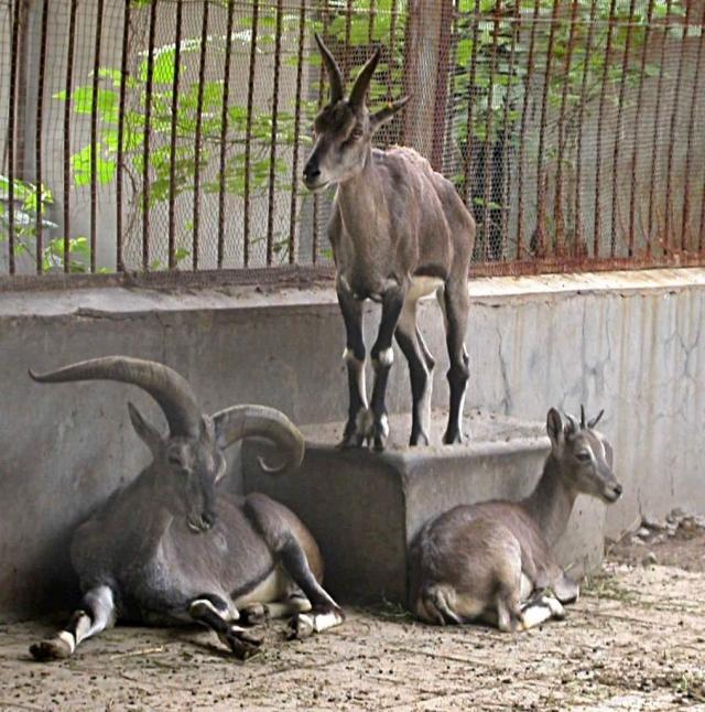 Этих животных содержат в неволе, например, во многих зоопарках.