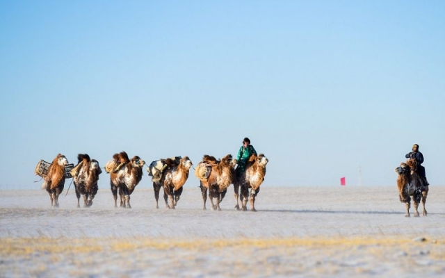 Верблюжий конкурс красоты в Китае