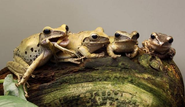 Компания веслоногих лягушек.