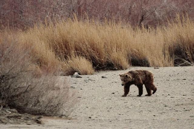 На севере Монголии этих медведей называют хурэн бавгай.