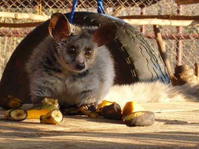 Все представители рода галаго - хищники, но иногда питаются и фруктами.
