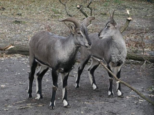 Голубые бараны - стайные животные.