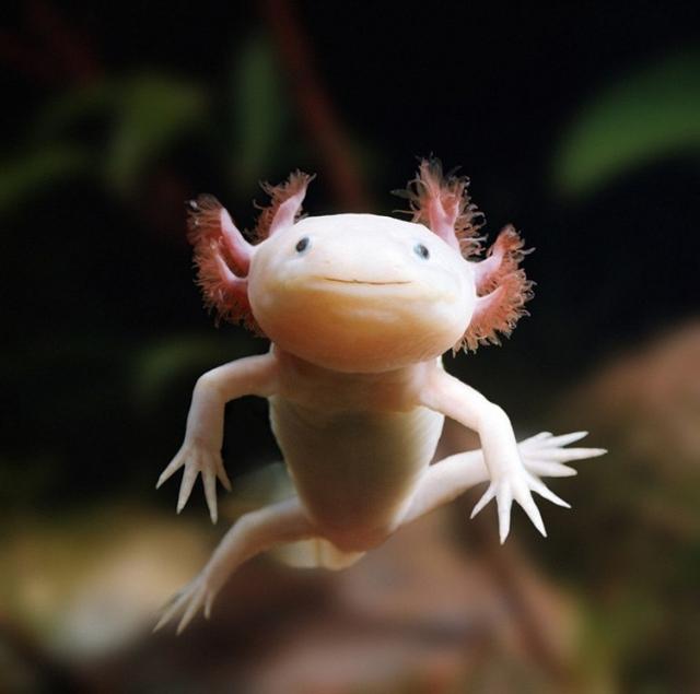 АКСОЛОТЛЬ - это одно из самых фантастических животных, которых вы можете завести у себя в аквариуме. ...
