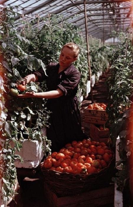 Сбор и сортировка урожая помидоров в подмосковном совхозе.