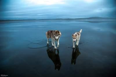 Фотограф впечатлил снимками гуляющих по воде хаски. Фото