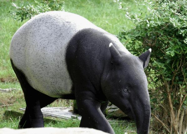 tapir6