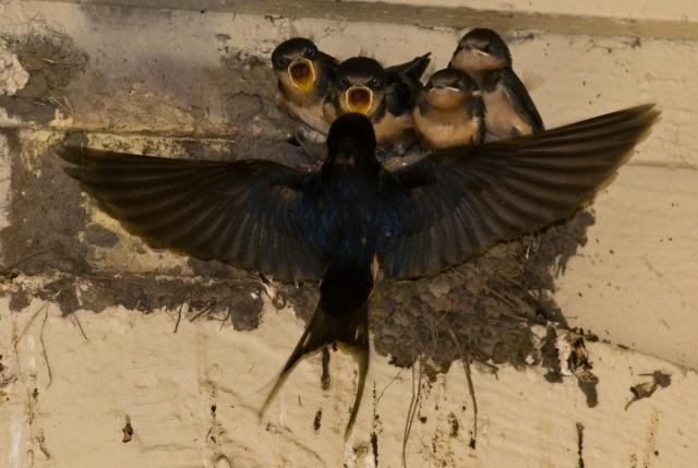 Такие гнезда можно часто увидеть под крышей дома в селе.