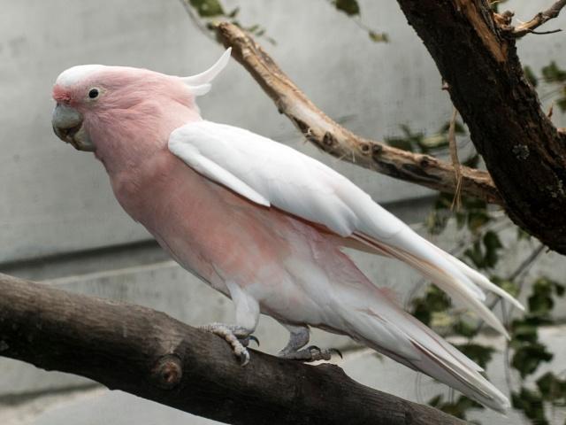 Крупные виды попугаев, такие как ара и какаду, живут от 35 до 60 лет, а недавно в зоопарке Чикаго умер старейший попугай в мире — какаду инка по кличке Печенье. Ему было 83 года