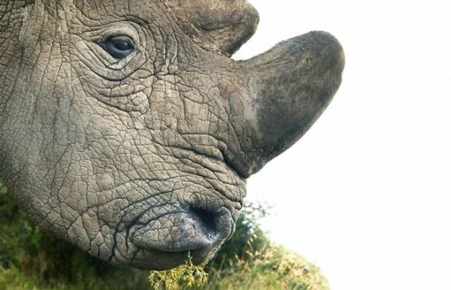 Северный белый носорог. Автор: Tim Flach.