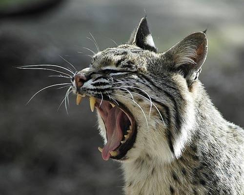Фото обыкновенная рысь lynx