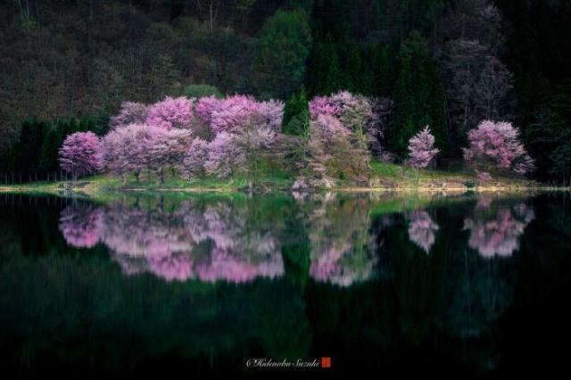 Цветущие сакуры, отражающиеся в водах небольшого озера префектуры Нагано