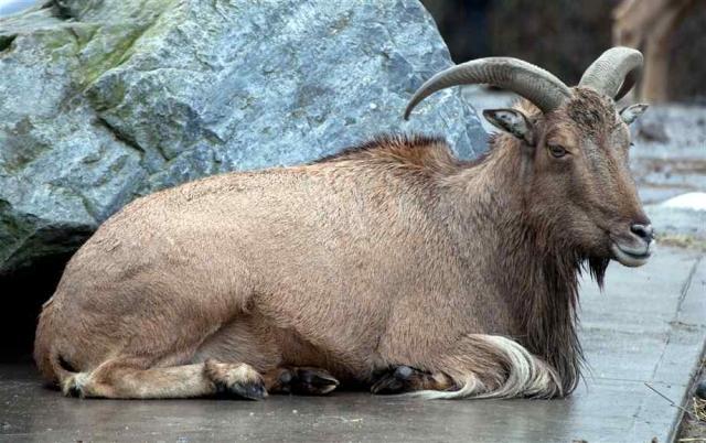 Взрослые гривистые бараны издают низкие звуки, а молодняк блеет высоким голосом.