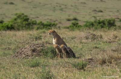 Как живется маленьким гепардам в Масаи-Мара. Фото