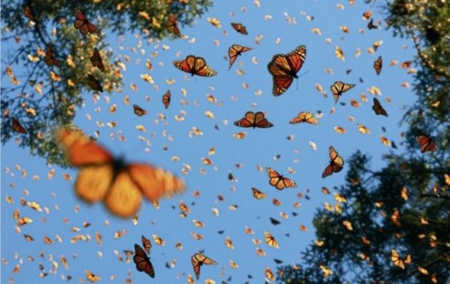 Бабочка монарх. Автор: Tim Flach.