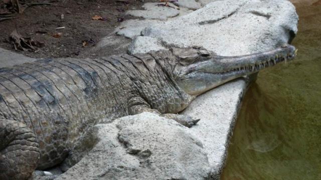 Гавиаловые крокодилы охраняются законом Индонезии и Малайзии.