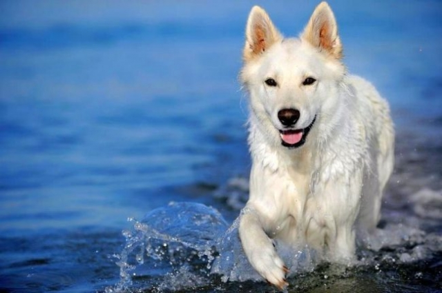 Как щенки швейцарской овчарки, так и взрослые собаки очень общительны, дружелюбны, открыты ко всему новому. Они имеют более спокойный характер, чем немецкие овчарки, но при этом любят игры, активное время провождение, а также очень любопытны