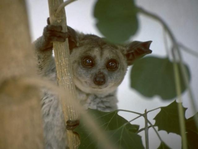 Галаго - обезьянки, ведущие ночной образ жизни.