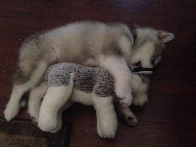 Зачем собакам нужны игрушки