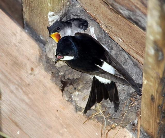 Молодые ласточки похожи на взрослых, но более тусклые серовато-черные сверху и буровато-белые снизу.